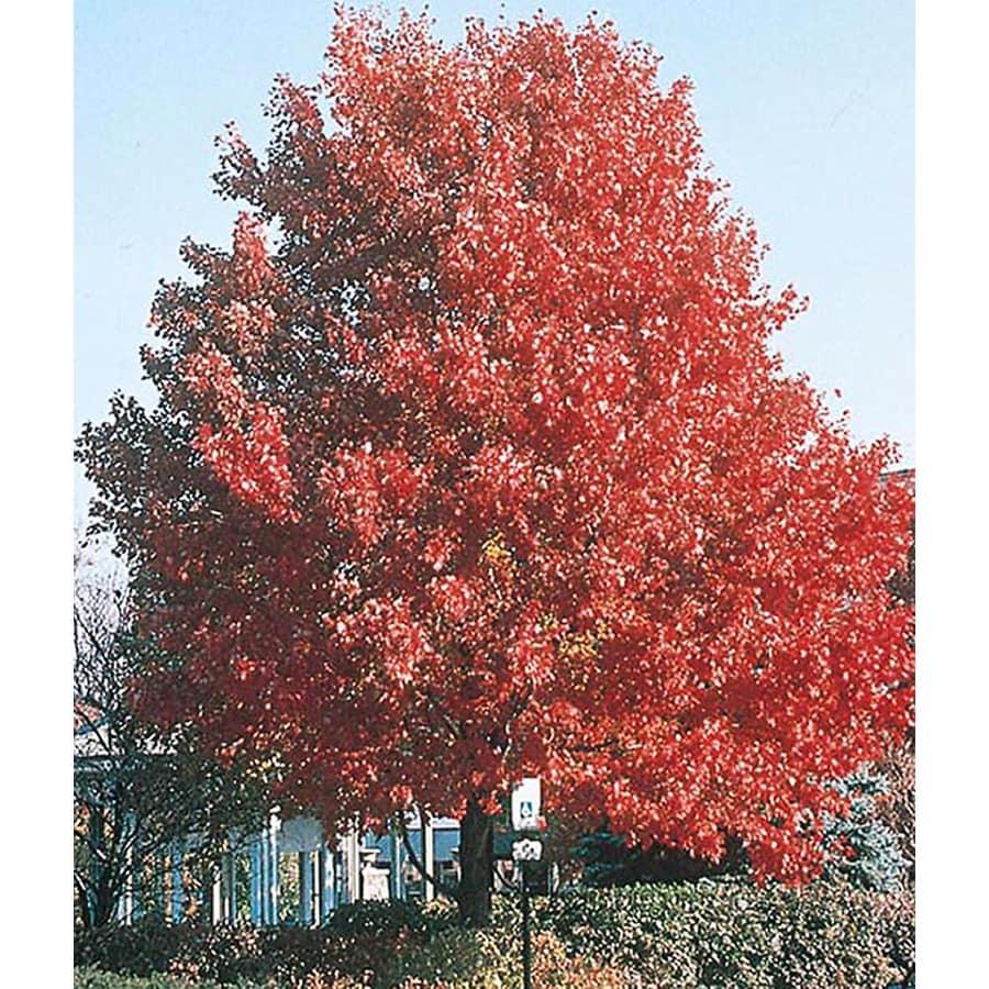 3.25-Gallon October Glory Maple Shade Tree (L3171)