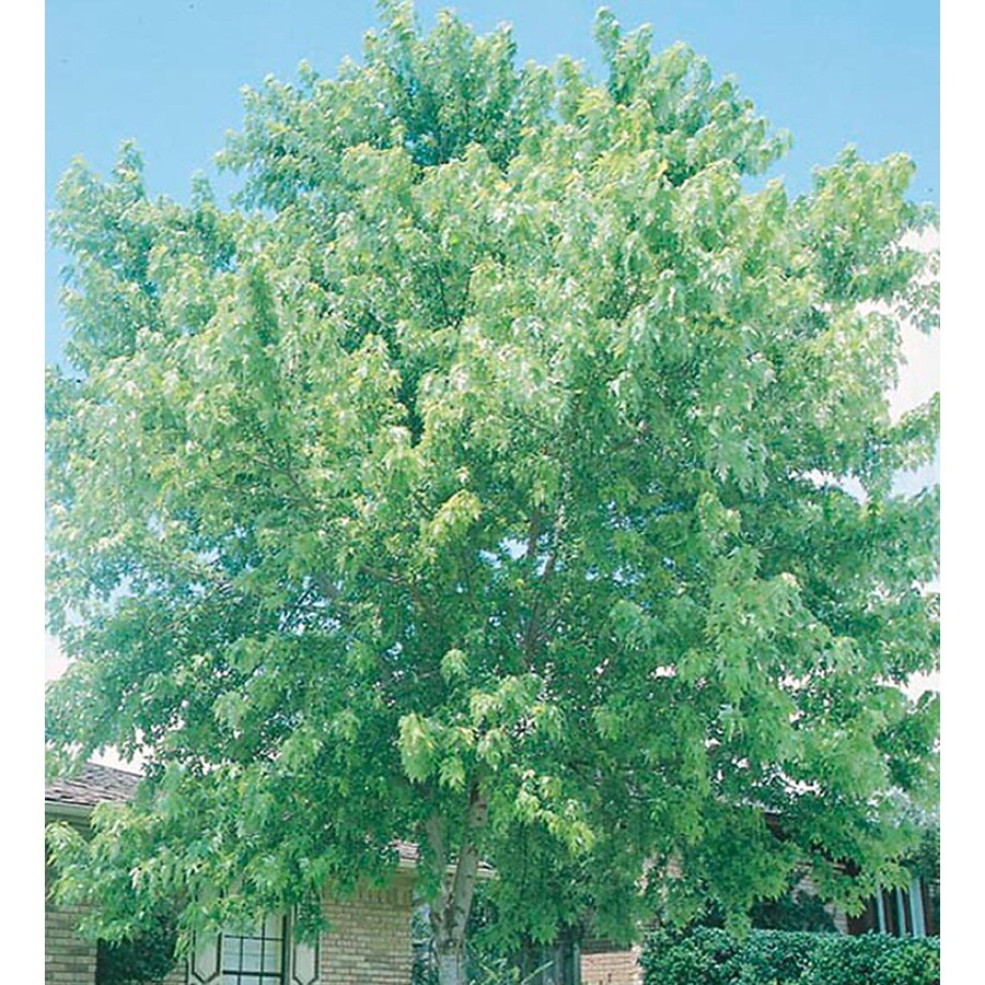 3.25-Gallon Silver Maple Shade Tree (L1124)