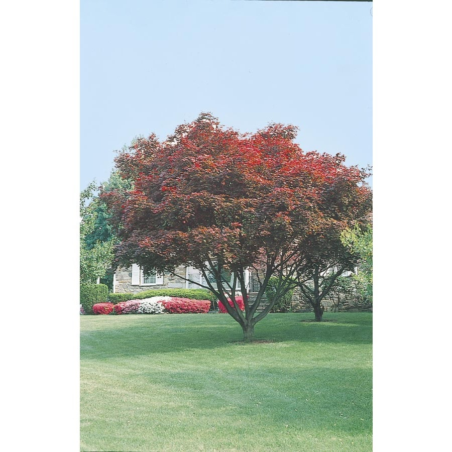 2.25-Gallon Upright Red Japanese Maple Feature Tree (L2657)