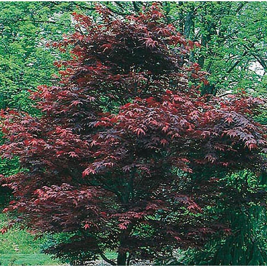 5.5-Gallon Dwarf Red Japanese Maple Feature Tree (L17076)