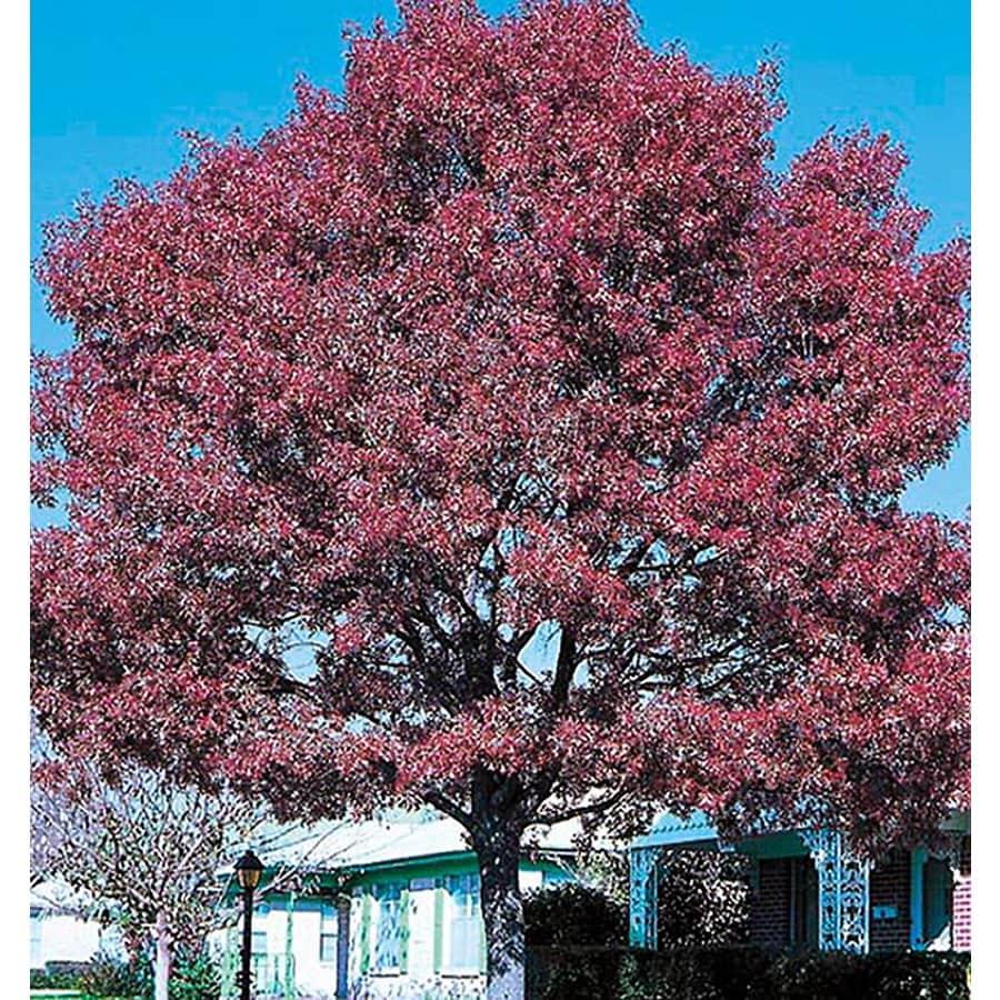 3.25-Gallon Shumard Oak Shade Tree (L1085)