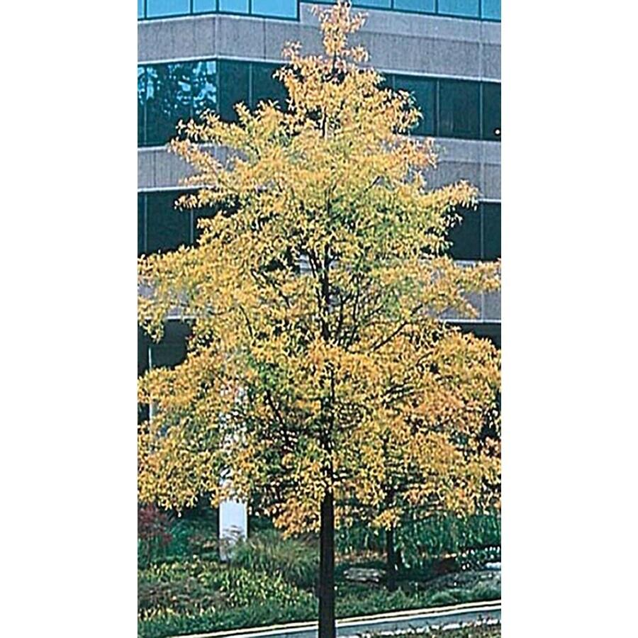 28.5-Gallon Willow Oak Shade Tree (L1407)