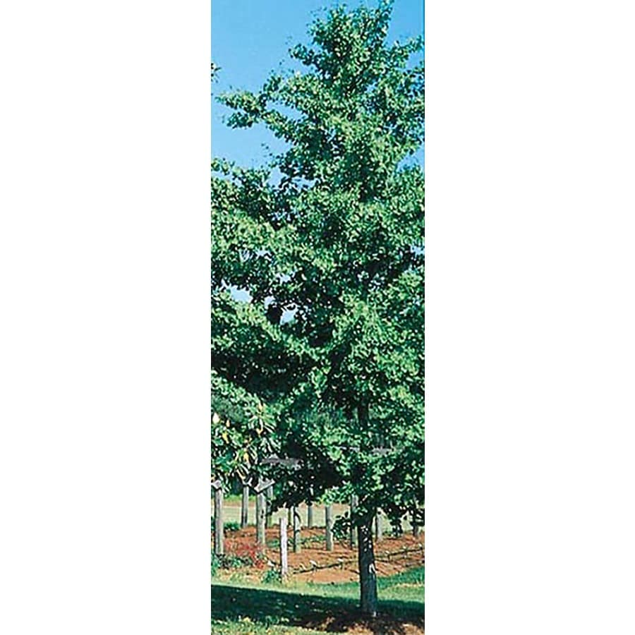28.5-Gallon D. D. Blanchard Magnolia Flowering Tree (L1171)