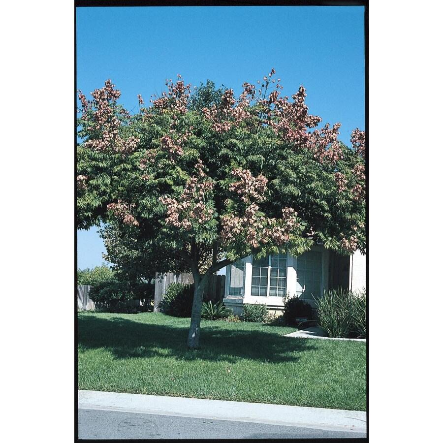 3.25-Gallon Golden Raintree Feature Tree (L1159)