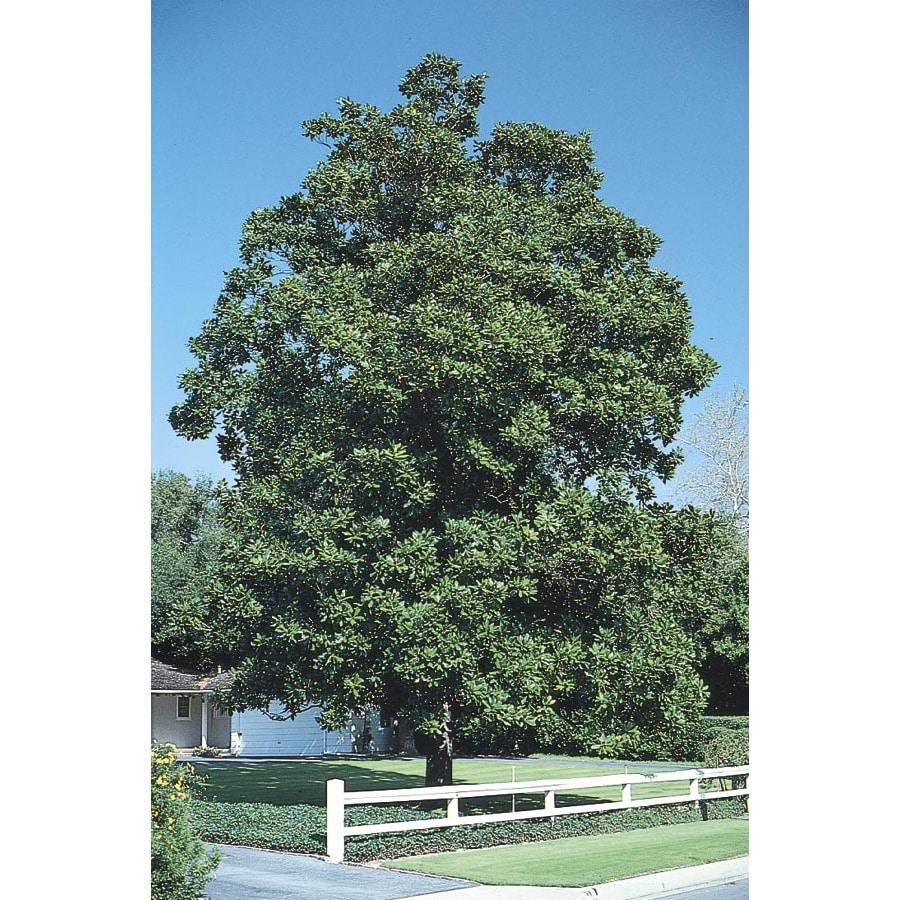 28.5-Gallon Southern Magnolia Flowering Tree (L1104)