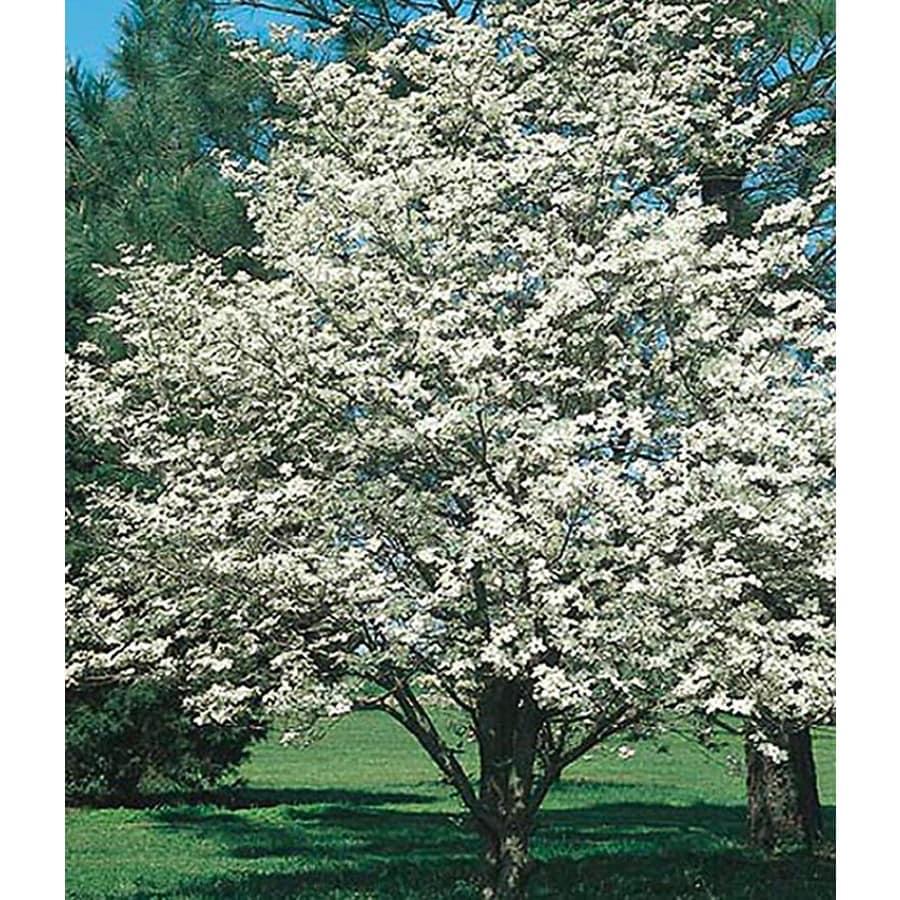 5.5-Gallon White Dogwood Flowering Tree (L1053)