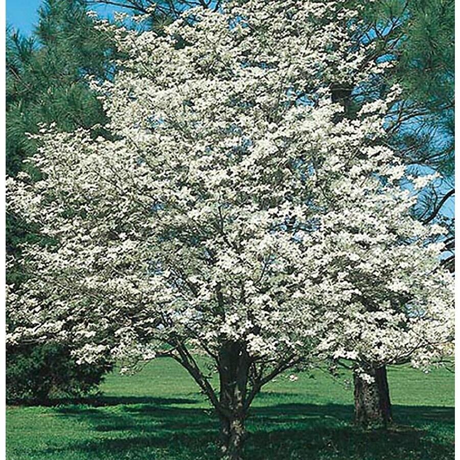 10.25-Gallon White Dogwood Flowering Tree (L1053)