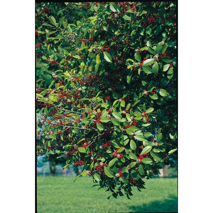 5.5-Gallon Savannah Holly Feature Shrub (L2618)