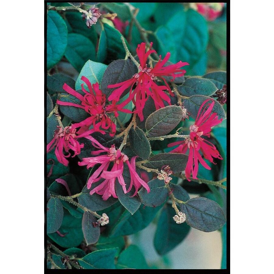 5.5-Gallon Pink Chinese Fringe-Flower Accent Shrub (L7192)