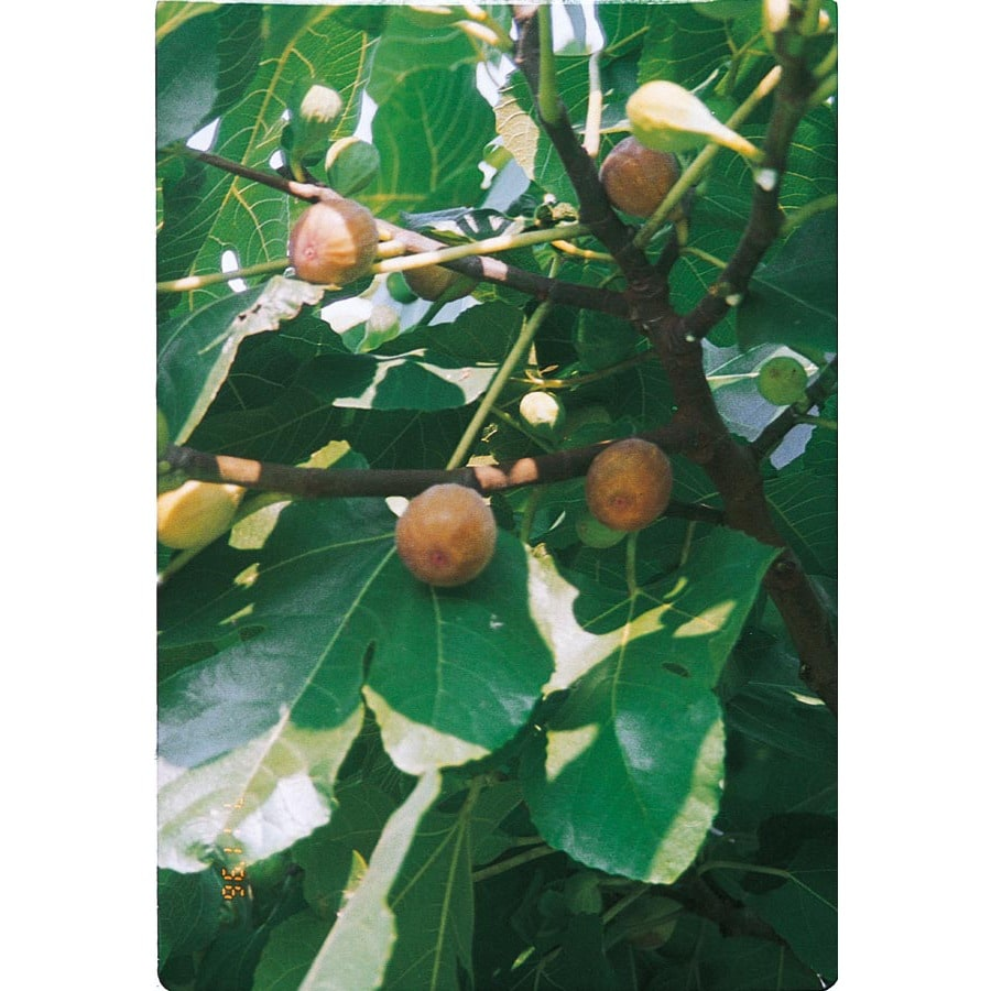 3.25-Gallon Celeste Fig Tree (L1330)