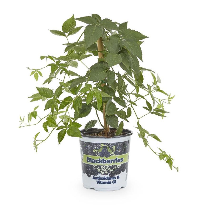 1-Gallon Blackberry Small Plant (L5825)