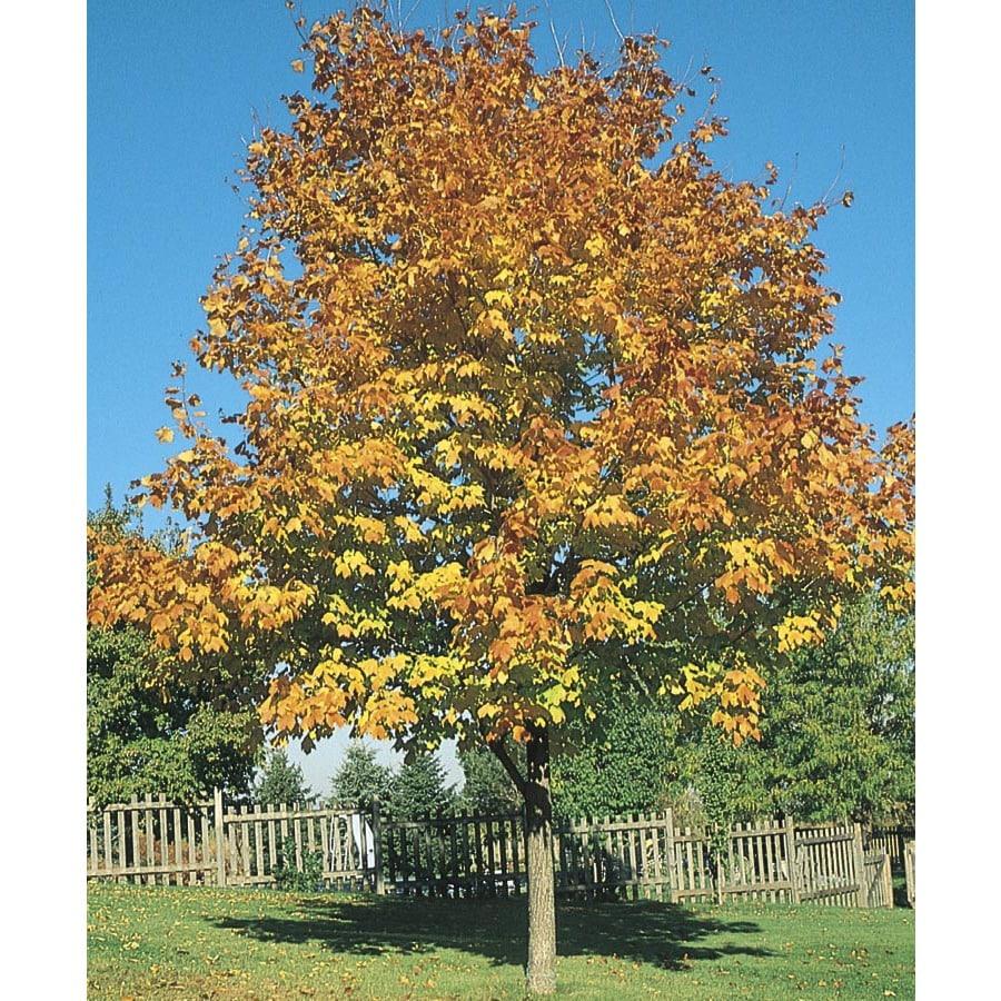5.5-Gallon Green Mountain Sugar Maple Shade Tree (L1155)