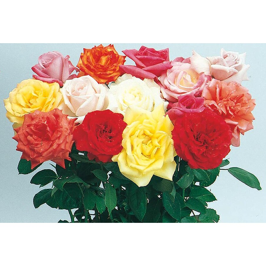 1.25-Quart Miniature Rose (L5965)
