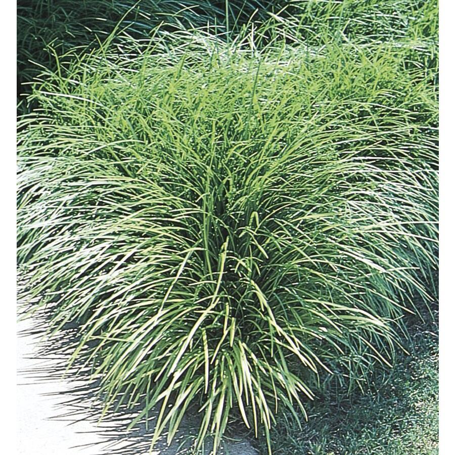 2.5-Quart Mondo Grass (L4050)