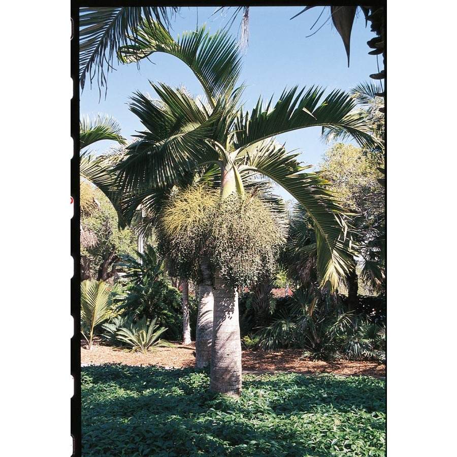 2.25-Gallon Bottle Palm (L14512)