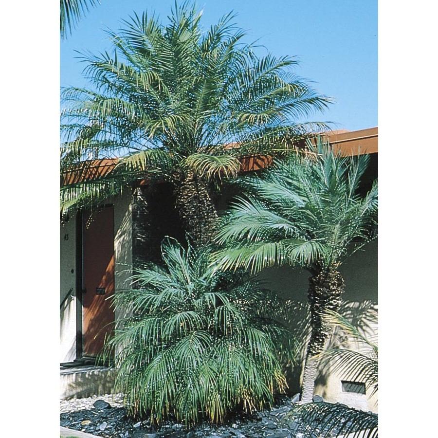 2.5-Quart Pygmy Date Palm (L7542)