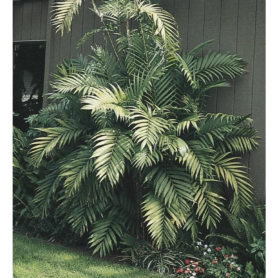 1-Gallon Cat Palm (LTL0008)