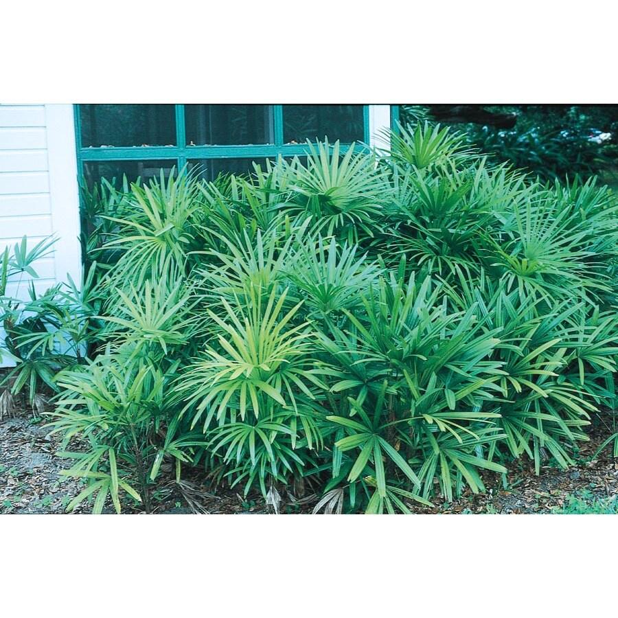 2.25-Gallon Lady Palm (L10147)