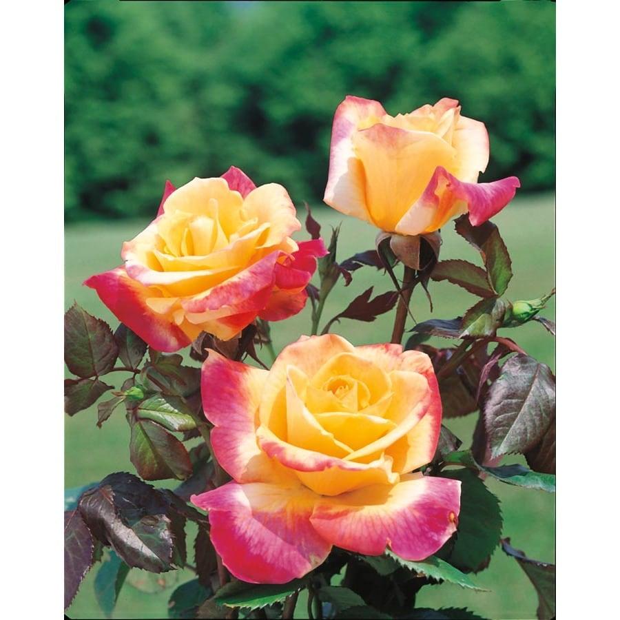 2.25-Gallon Desert Peace Rose (L9678)