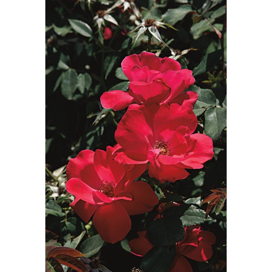 2.25-Gallon Knock Out Patio Tree Rose (LW03244)