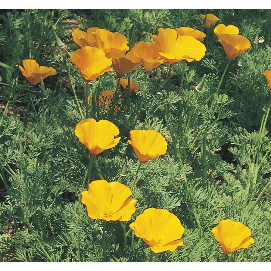 2.5-Quart California Poppy (L5036)