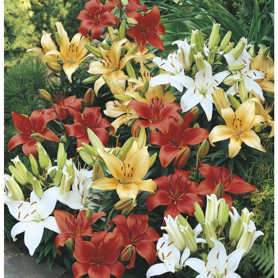 1.75-Gallon Planter Asiatic Lily (Lw01857)