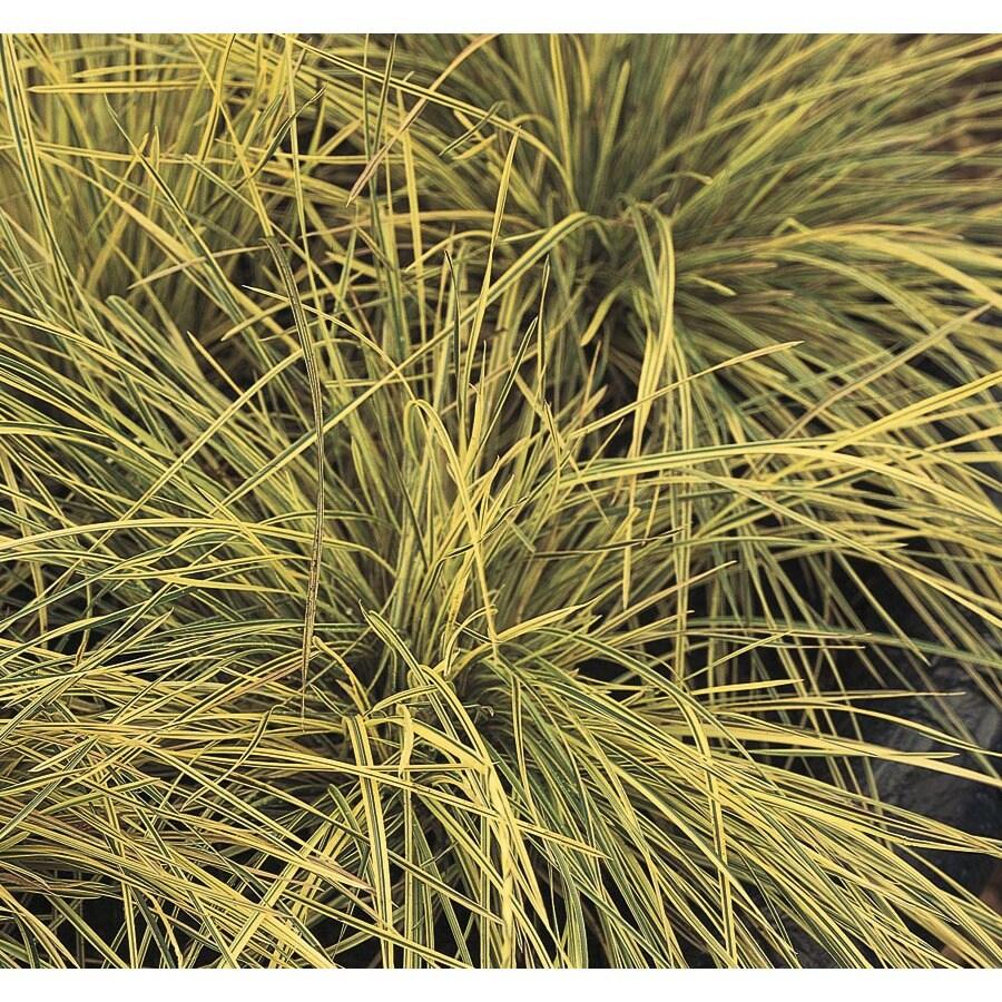2.5-Quart Tufted Hair Grass (L2148)