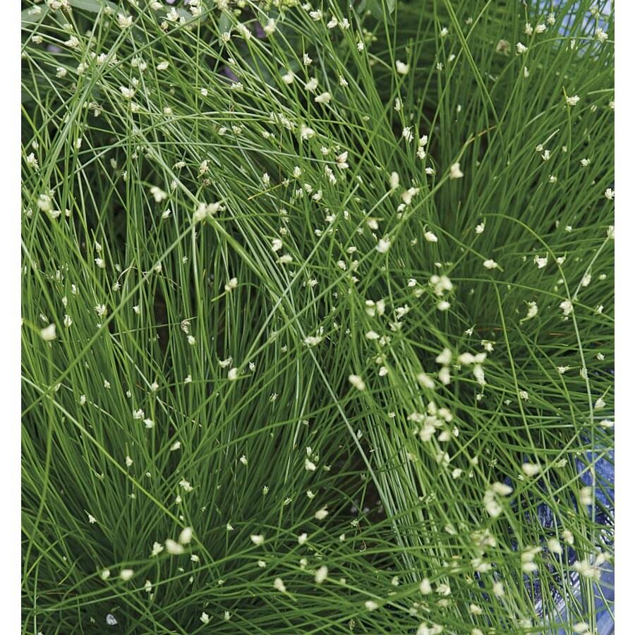 2.5-Quart Fiber Optic Grass (LW02643)