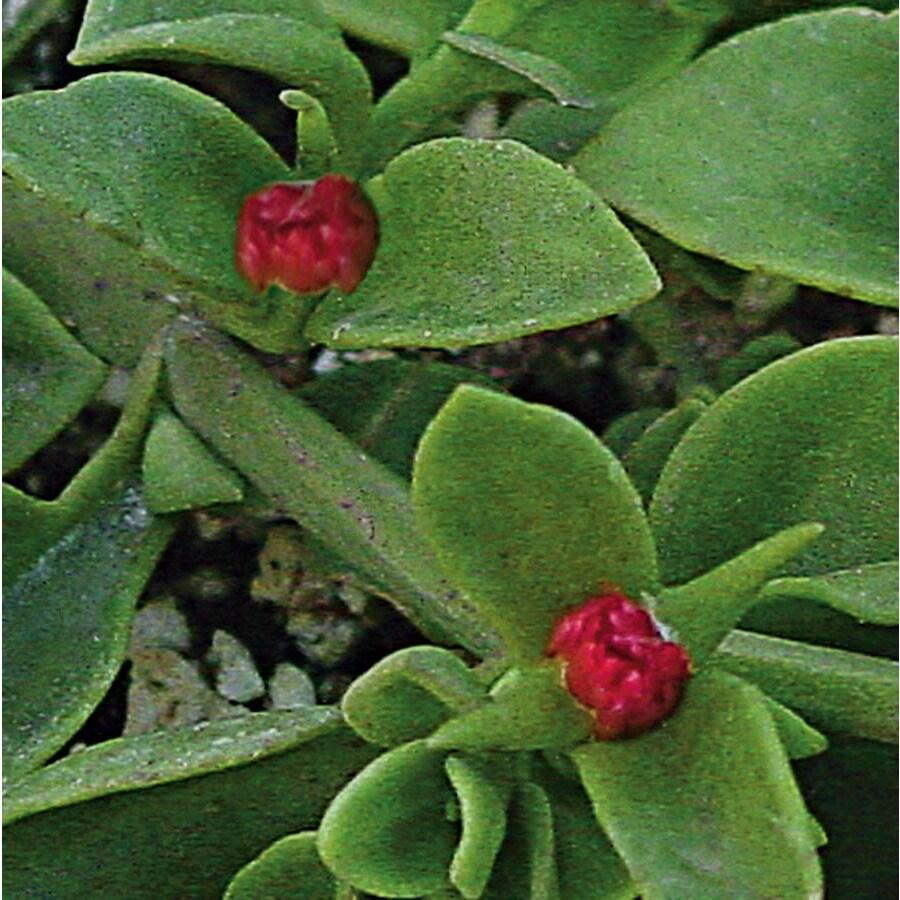 Flat Red Apple Aptenia (L4285)