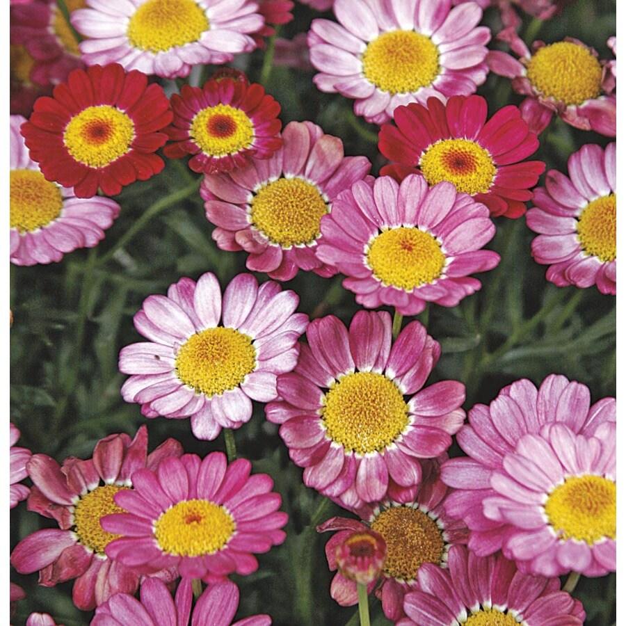 1-Quart Marguerite Daisy (Lw00222)