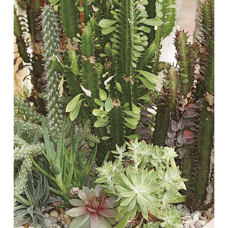 2-Gallon Cacti and Succulents (Mixed) (LWALTCS)