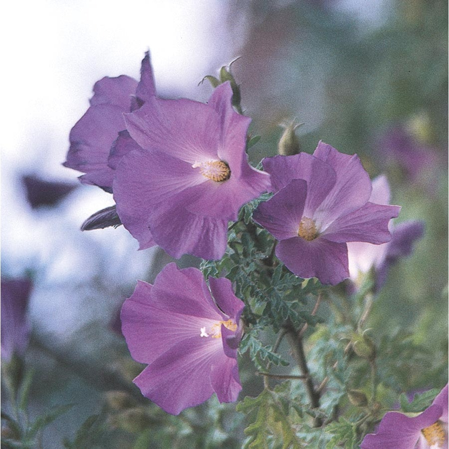 2-Gallon Lavender Blue Hibiscus Accent Shrub (L9526)