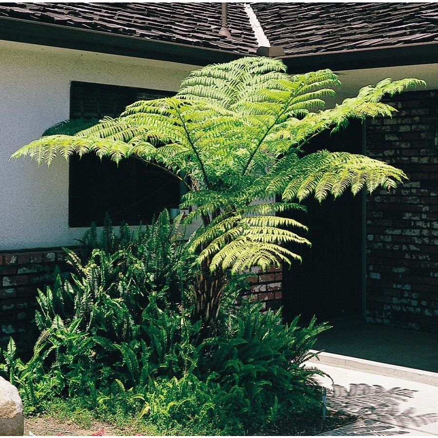 1.5-Gallon Australian Tree Fern (L11787)