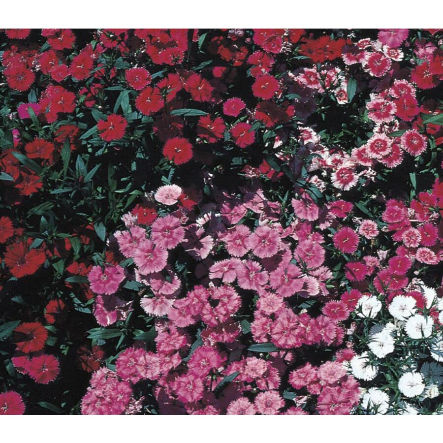 2.5-Quart Dianthus (L9857)