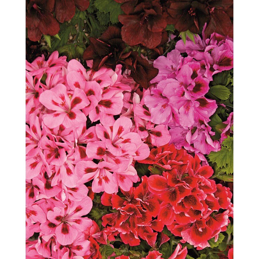 1.64 Pint Martha Washington Geranium (L9583)