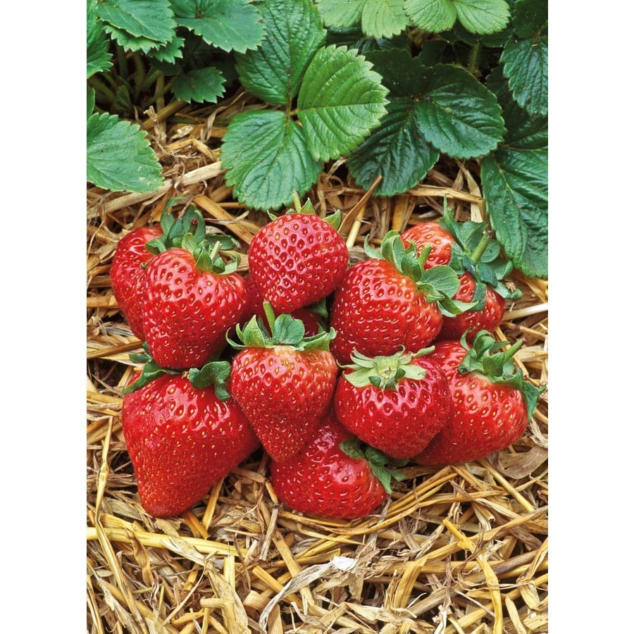 2.5-Quart Strawberry Small Fruit (L00574)