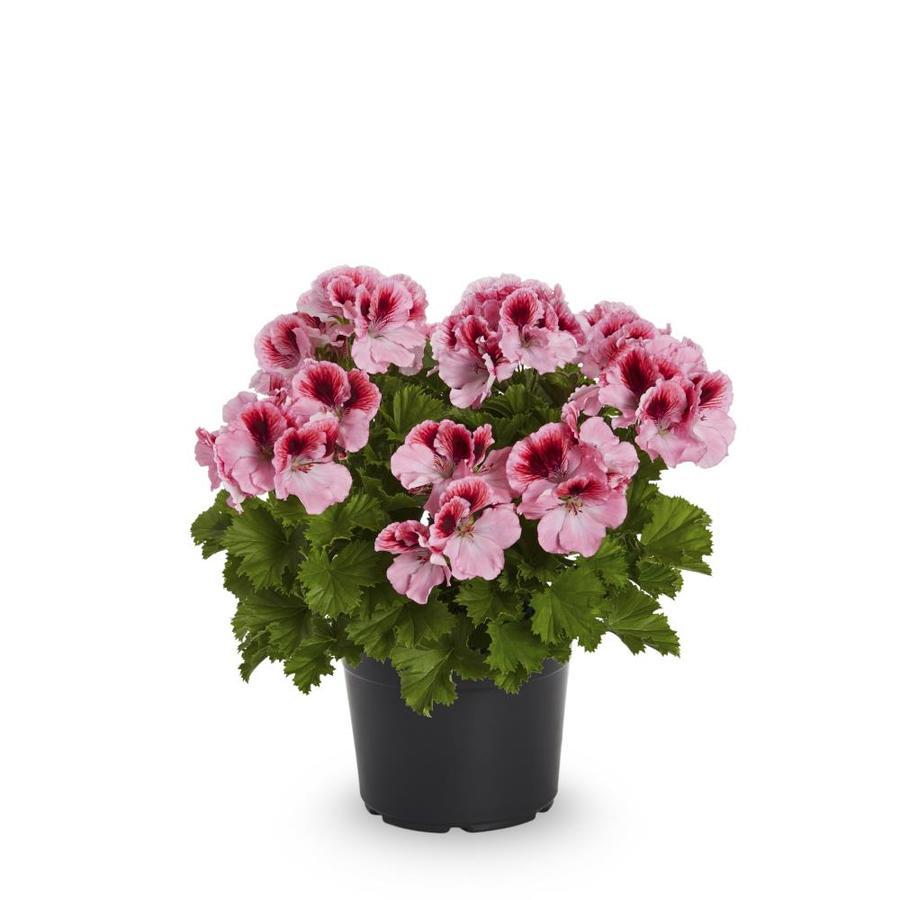 2.5-Quart Martha Washington Geranium (L9583)