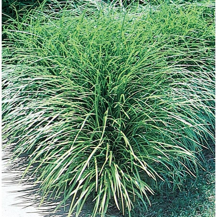 0.5-Flat Mondo Grass (L4050)