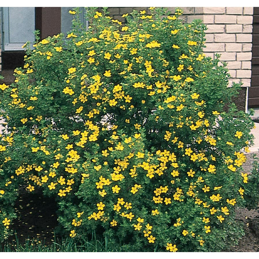 Shop 0 5 Flat Yellow Potentilla Flowering Shrub L3942 At