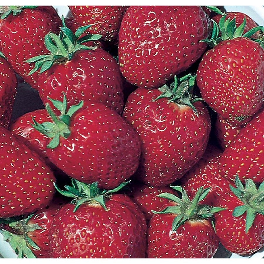 0.5-Flat Strawberry Small Fruit (L00574)