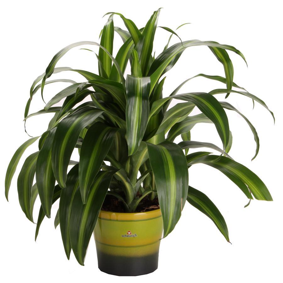 6-in Hawaiian Sunshine in Planter
