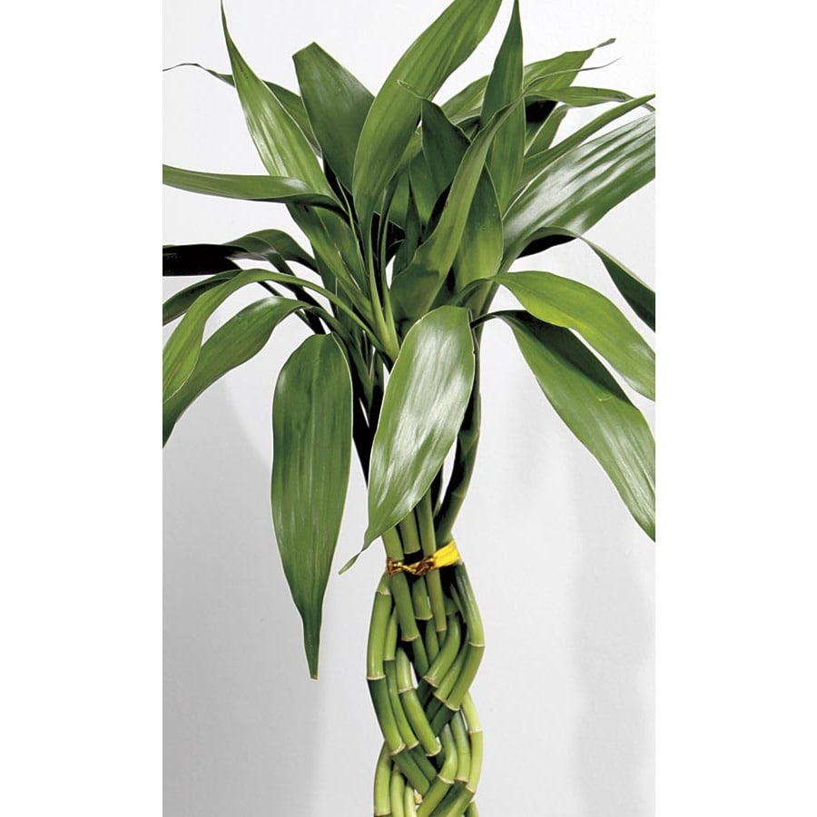 1-Count Lucky Bamboo (L20953HP)