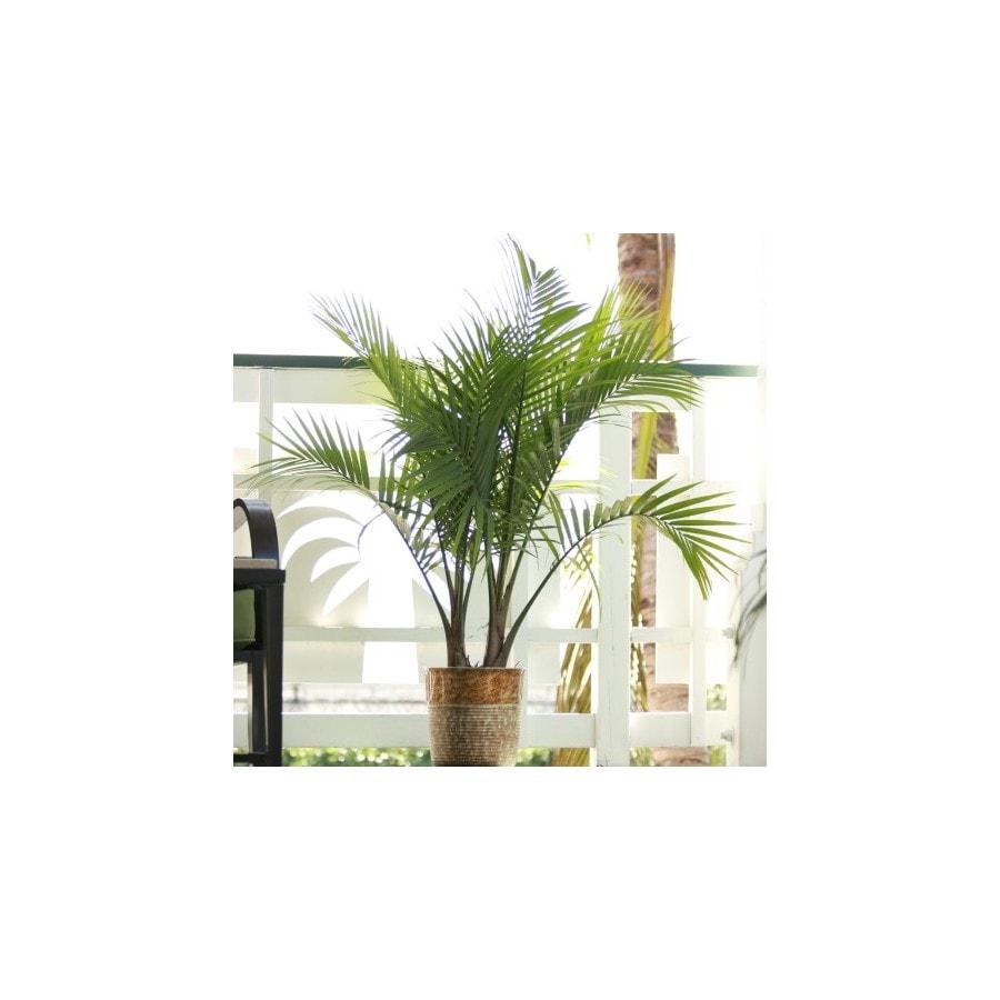 1.94-Gallon Majesty Palm (LTL0062)