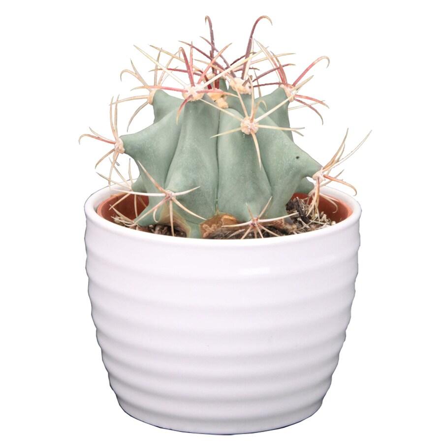 1.25-Quart Cacti in Planter