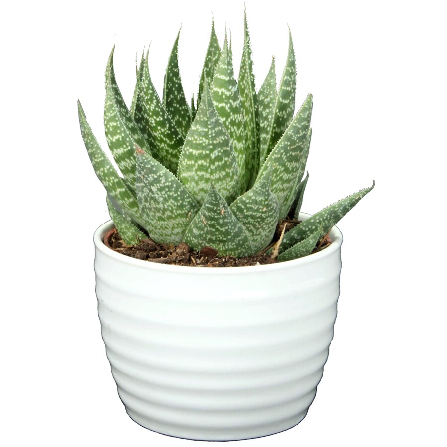1.25 Quart Succulent in Planter