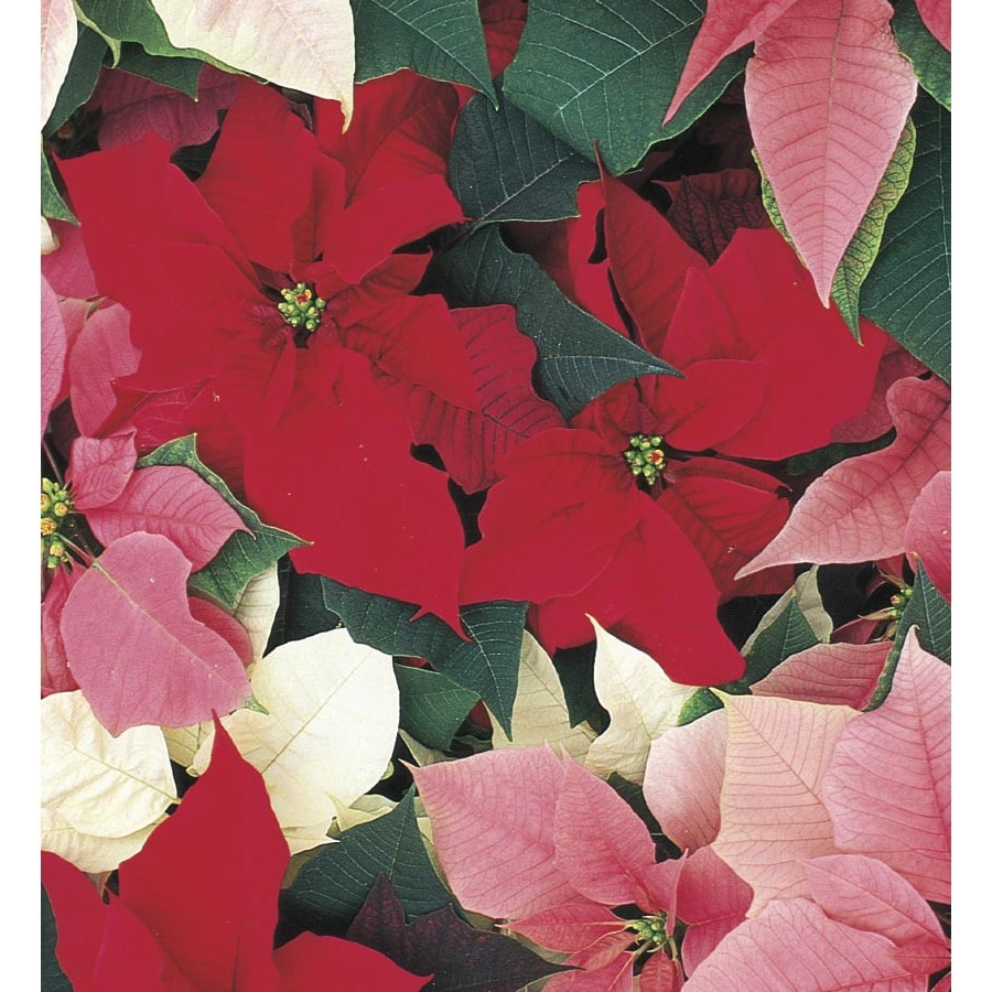 1.5 GAL POINSETTIA HOLIDAY