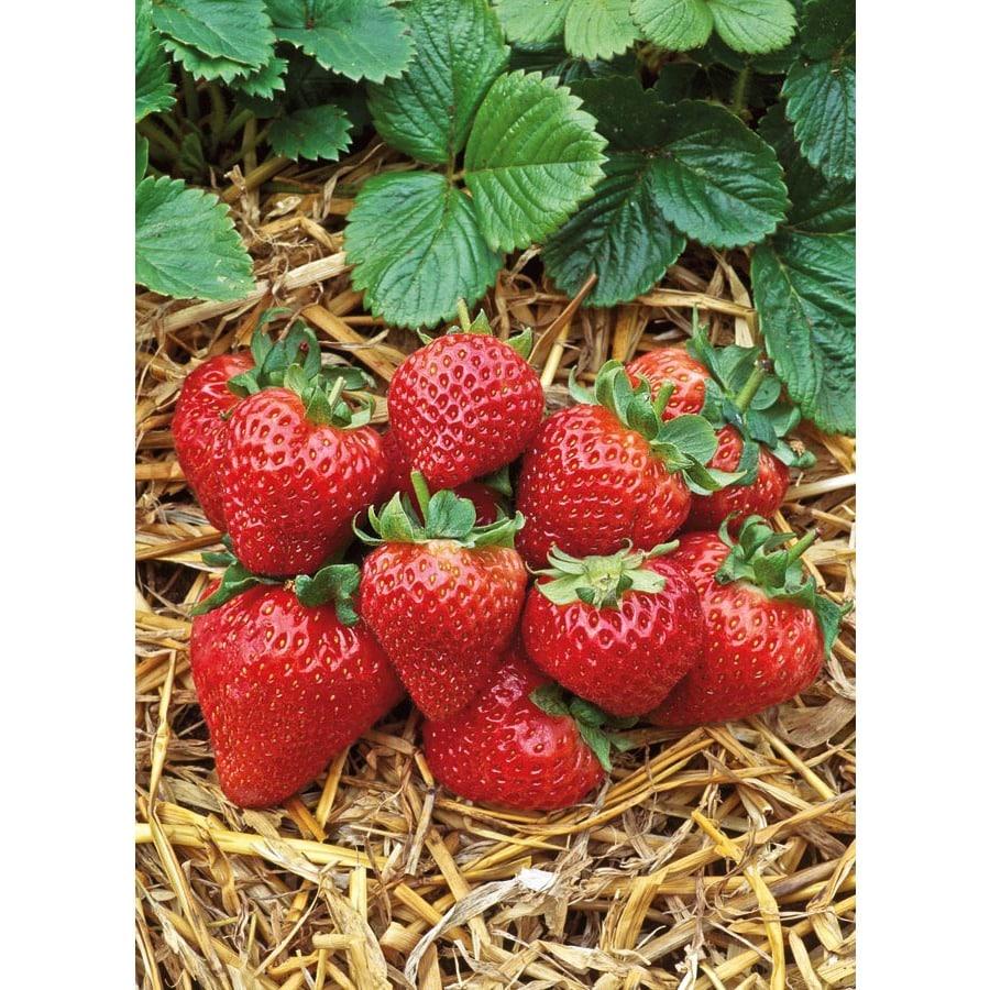 1.5-Gallon Strawberry Small Fruit (L00574)