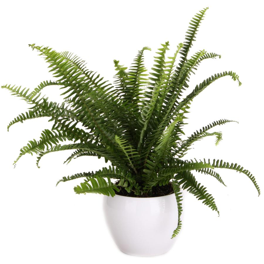 6-in Ariane Fern in Planter
