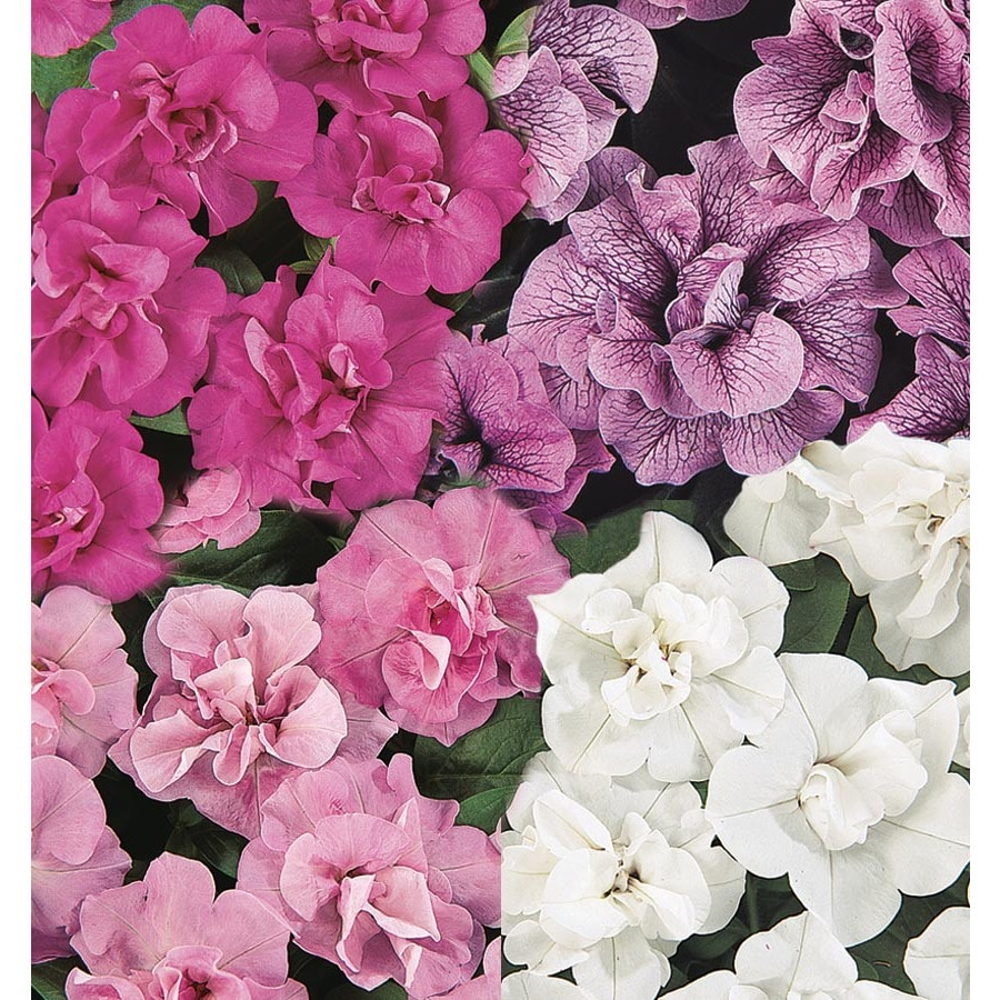 1.25-Quart Double Wave Series Petunia (L16954)