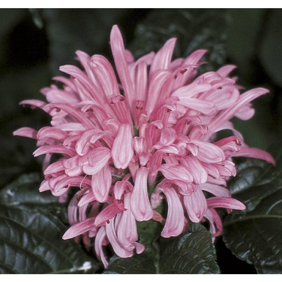 2.5-Quart Pink Brazilian Plume Flowering Shrub (L00603)